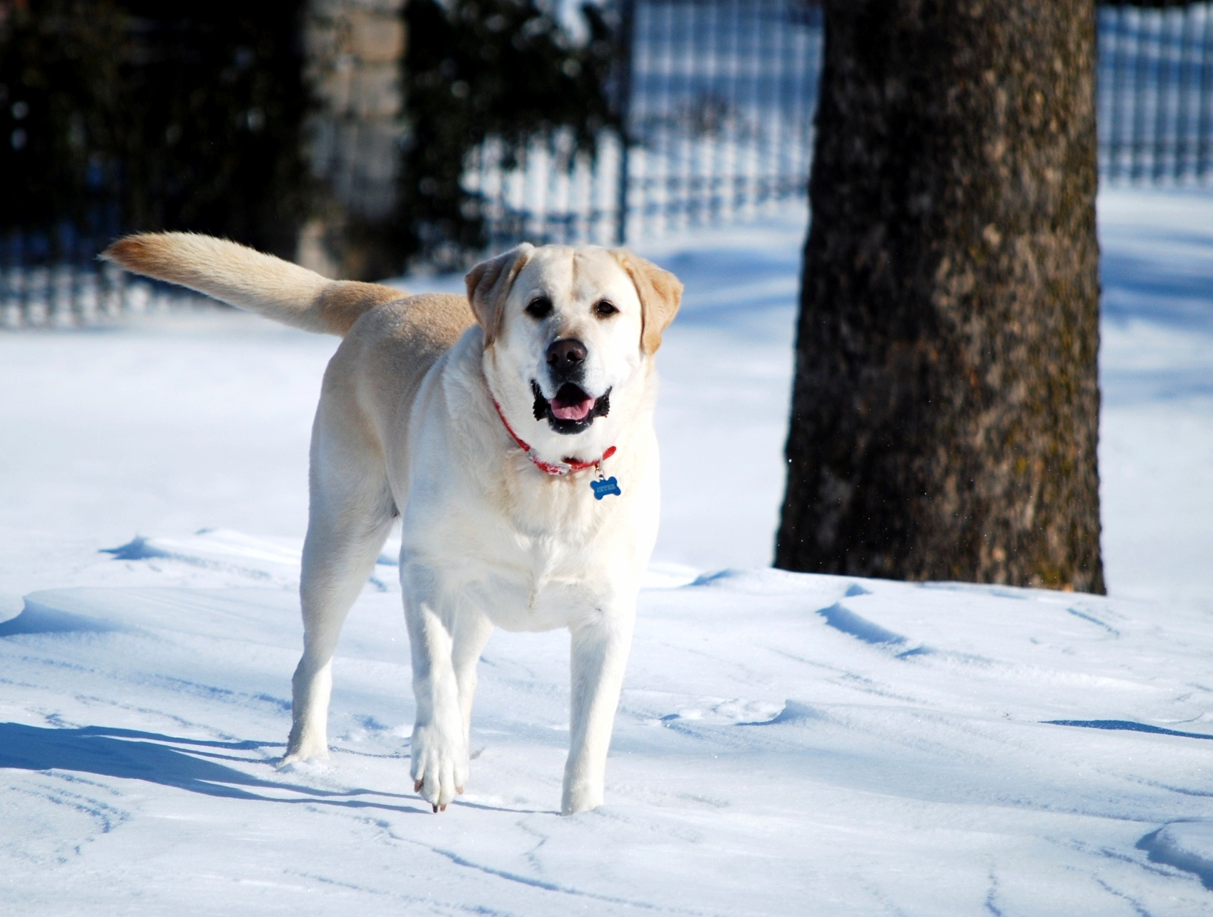 Akc Announces America S Top Dog For 2012 News Unplugged