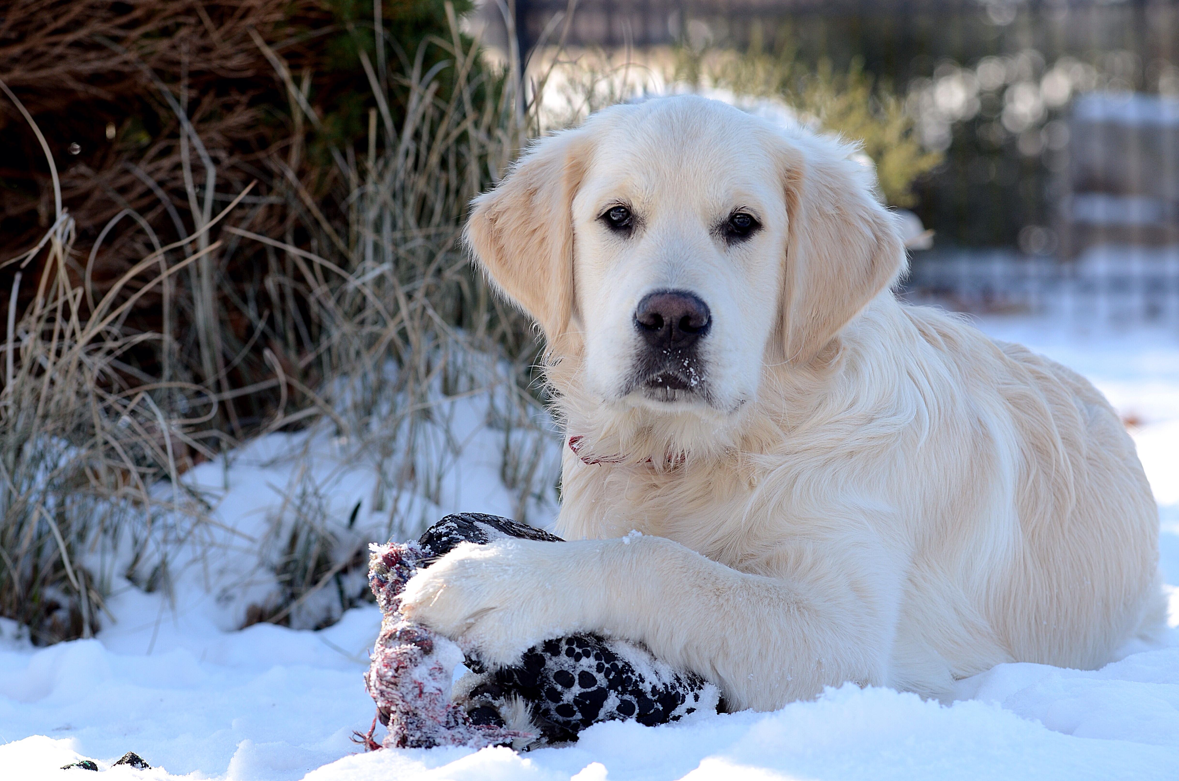 labrador retriever top dog again